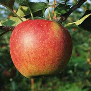 Apple early mature small for that interfere